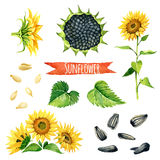Sunflower, hand-painted watercolor set Royalty Free Stock Photography