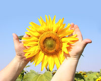 Sunflower in hands Royalty Free Stock Photography