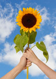 Sunflower in hands Royalty Free Stock Photo