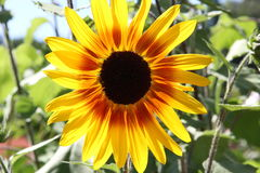Sunflower happy Royalty Free Stock Images