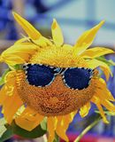 Sunflower Happy Face. Sunflower plant wearing shades and a smile on a summer day Stock Photography
