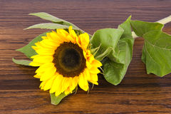 Sunflower on hardwood oak shelf Royalty Free Stock Photography