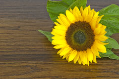 Sunflower on hardwood oak shelf Stock Photography