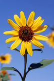 Sunflower at Harvest Royalty Free Stock Photo