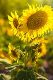 Sunflower has many flowers. Sunflowers have many flowers in the sunflower field Stock Photography