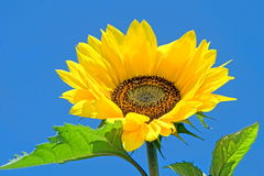 Sunflower HDR Stock Photo