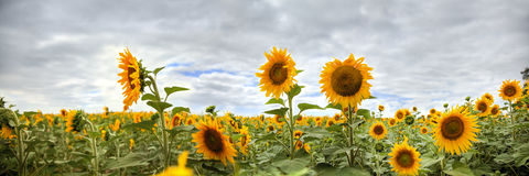 Sunflower HDR Panorama Royalty Free Stock Image