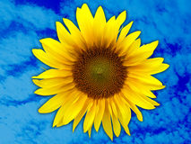 Sunflower head. On blue sky background Royalty Free Stock Images