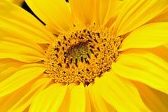 Sunflower Head. Close up of Golden Yellow Sunflower head Royalty Free Stock Photos