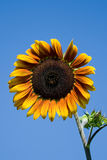Sunflower  head Royalty Free Stock Images