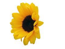 Sunflower head Stock Photography