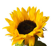 Sunflower head Royalty Free Stock Photos