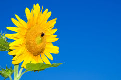 Sunflower head against blue Royalty Free Stock Image