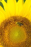 Sunflower head being pollinated by a honey bee. Close up of part of a sunflower head being pollinated by a honey bee burgeoning with pollen Royalty Free Stock Photos