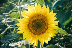 Sunflower head Stock Photography
