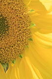 Sunflower head close-up brightly lit by sun. Counterlight Stock Photography