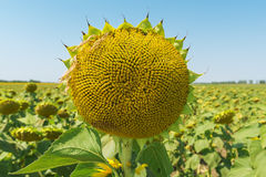 Sunflower head close up after flowering Royalty Free Stock Photos