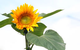 Sunflower head close up light background. Royalty Free Stock Images