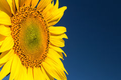 Sunflower head. Close-up on the sky background Royalty Free Stock Photos