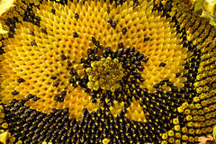 Sunflower head clouse-up Royalty Free Stock Image