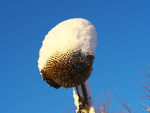 Sunflower head covered snow. Withered sunflower head without seeds covered snow Stock Photography