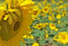 Sunflower head detail  Royalty Free Stock Photos