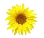 Sunflower Head Royalty Free Stock Photos