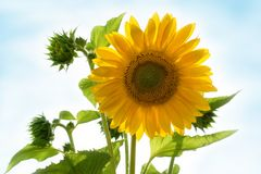 Sunflower head in the garden isolated stock images