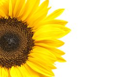 Sunflower Head Isolated on White Stock Photo