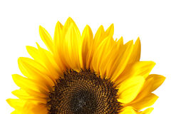 Sunflower Head Isolated on White royalty free stock photo