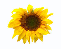 Sunflower head Royalty Free Stock Photo