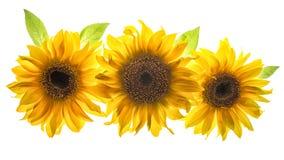 Sunflower head isolated white background flower Stock Photos