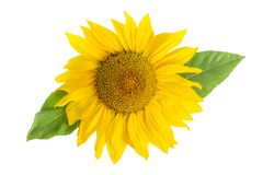 Sunflower Head With Leaf Isolated On White stock images