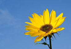 Sunflower head with long leaves. Royalty Free Stock Photos