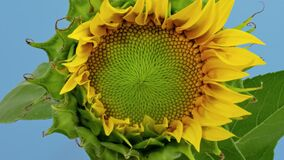 Free Sunflower Head Opening Timelapse On Blue Stock Photography - 195051482