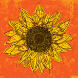 Sunflower. Head over an orange textured background Royalty Free Stock Photography