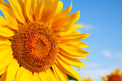 Sunflower head's close up Royalty Free Stock Image