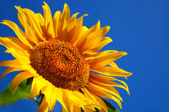 Sunflower head's close up royalty free stock photo