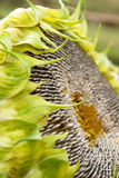 Sunflower head with seeds Royalty Free Stock Photography
