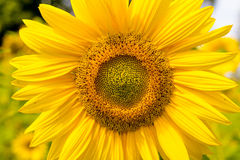 Sunflower head in sunlit field Royalty Free Stock Images