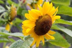Sunflower head close up in bright sunlight Stock Image