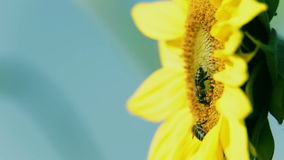 Sunflower head with two bees waving in the wind stock video