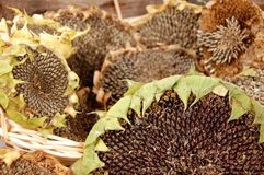 Sunflower Heads Stock Photos