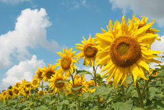 Sunflower heads. On the field Royalty Free Stock Image