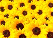 Sunflower heads Royalty Free Stock Photo