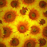 Sunflower heads decorative background royalty free stock photo