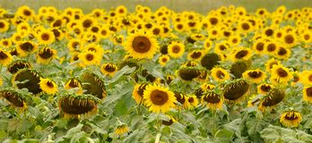 Sunflower Heads. Sunflower on a sunny day in a field Stock Images
