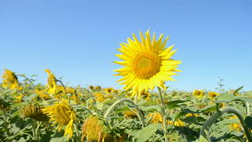 Sunflower heap with insects on blue sky in sunny day, nature stock video footage