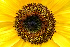 Sunflower. The heart of the sunflower royalty free stock photography