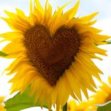 Sunflower heart. Sunflower head with a heart Royalty Free Stock Images
